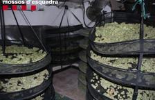 Tres detenidos por una plantación de marihuana en Almenar
