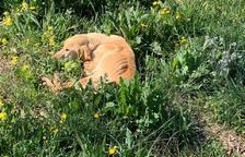 Mor un dels gossos rescatats en una finca de la Granadella