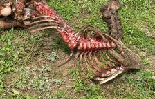 Denuncien un altre atac de l'os a un poltre a la Val d'Aran