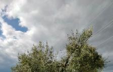 L'IRTA identifica tretze noves varietats locals d'olivera al Pallars Jussà
