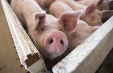 El porcí aconsegueix reduir més d'un 41% les emissions