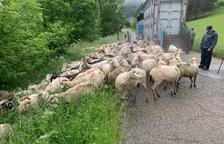 Reagrupan 3.150 ovejas en Aran para evitar ataques del oso