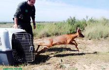 Un agente rural liberando el corzo en el espacio natural de Mas de Melons.