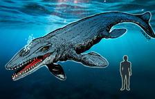 un 'monstre'. Una de les dents del Liopleurodon.