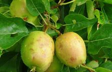 Imatge de pomes afectades per la pedra a Bellpuig.
