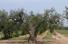 Tretze noves varietats d'olivera al Pallars