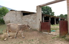 Una quinzena de vaques ocupen un monestir de la Noguera