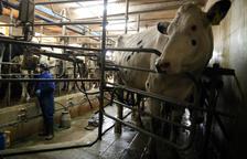 El ministeri d'Agricultura constata que el ramader ven la llet per sota de cost
