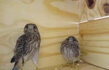 Sidamon 'adopta' a 3 cernícalos para poner coto a las palomas