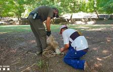 Capturan un cordero suelto en una zona turística de La Pobla