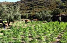 Decomisan más de 5.000 plantas de marihuana en el llano de Lleida