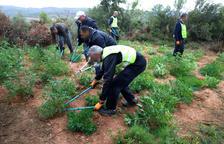 Agentes cortando algunas de las plantas que hallaron ayer entre los campos de olivos.