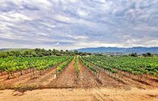 vinya. El celler Mas Blanch i Jové ha plantat en els últims anys set hectàrees més de vinya i ara ja en tenen vint-i-cinc.