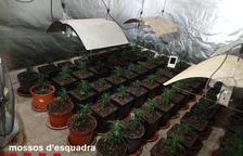 Detenido por una plantación de marihuana en una nave de Vinaixa