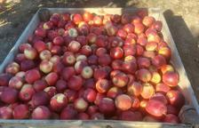 Lleida recol·lecta aquests dies varietats tardanes de poma, com la roja story.