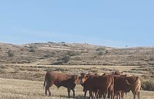 Operatiu 'extra' dels Rurals a la caça de vedells salvatges a Algerri