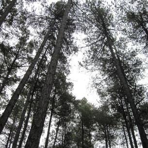 Los bosques de pino negro que se quieren preservar.