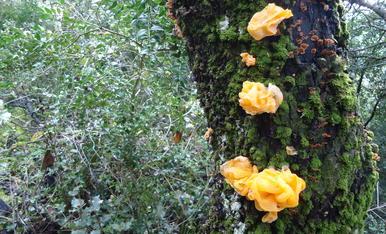 La verdad que ahora si que empiezan a verse setas por todas partes, que hasta salen en los árboles, estas que parecen rosas, pero de color amarillo, son la verdad muy curiosas, y creo, que no son comestibles...