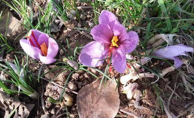 Flors de Safra.