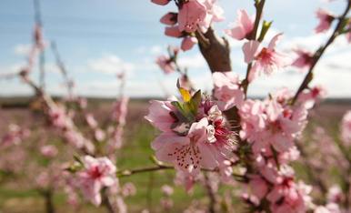 Floració dels ametllers