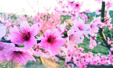 Presseguers florits a les portes de la primavera