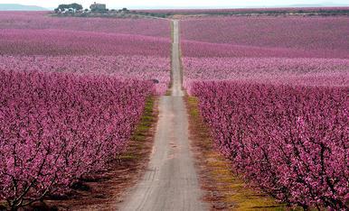 arbres florits Utxesa - Torres de Segre