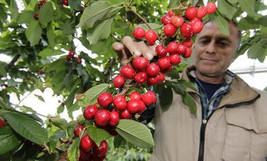 Cerezas de Almacelles a 150 euros el kilo