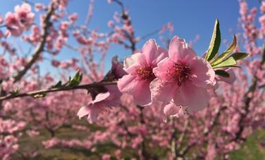 Primavera rosa.