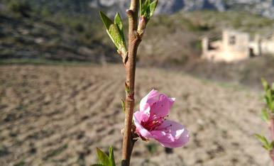 Al bancal del Noguer de Cal Roqueta de Canelles, just quan havia començat la primavera, aquest arbre fruiter de paraguaios ja tenia diverses flors que havien esclatat.
