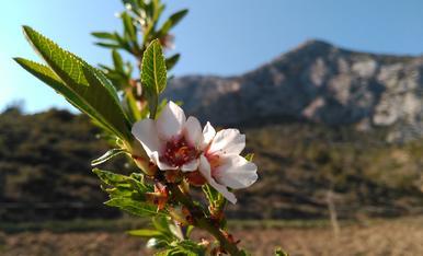 Aquest jove ametller plantat enguany al bancal del Noguer de Cal Roqueta de Canelles ja s'estrenava florint amb l'arribada de la primeravera.