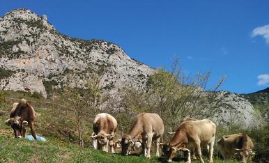 Després de la neu i pluges d'aquestes últimes setmanes, aquest ramat de vaques i toros, a Cal Roqueta de Canelles (Fígols i Alinyà) troben llocs per menjar verd a tot arreu.