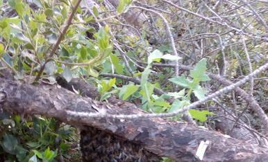 Passejant pel bosc, a la zona de Peramola, ahir a la tarda en aquest pi caigut hi havia aquest petit eixam d'abelles, totes ben recollides, que segruament hi van fer parada per passar la nit.