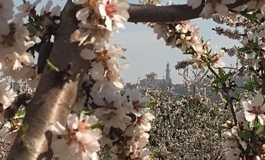 Fruiters en plena floració, amb el campanar de l'església de les Borges Blanques al fons