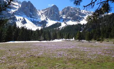 Prat de Cadí (Estana) es troba a 1.826 metres d'altitud. A mesura que es fon la neu, hi floreix una mena de safrà.