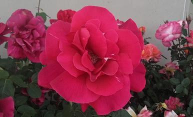 Rosa vermella pasio,Magda Bach