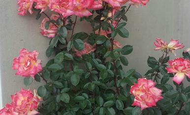 Rose,Magda Bach