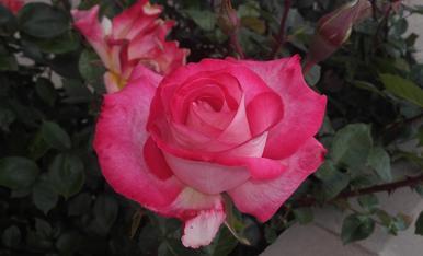 Esclat de una Rosa,Tragó de Peramola,Magda.