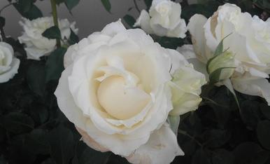 Roses blanquear,Tragó de Peramola.