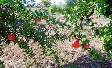 La magrana és una de les fruites amb més propietats que tenim. Es produeix amb el magraner, un arbust dels darrers en florir i que cada cop és més difícil de trobar a l'horta de Lleida, d'on és aquesta imatge.