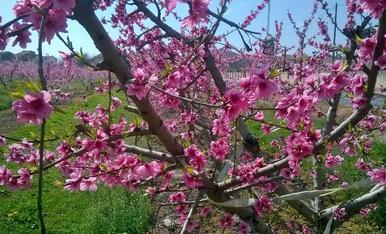Floració a Ivars d'Urgell.