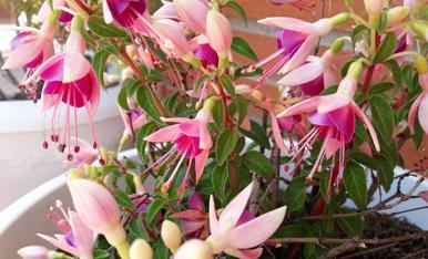 Us envío la Fucsia de casa que està guapíssima amb aquestes flors en forma de campanetes.