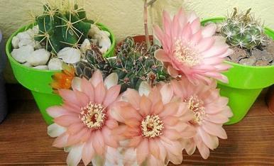 Aquestes flors també llueixen al sol d'Alguaire