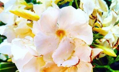 Un petit tast de les flors del corral de la padrina Teresina, una gran florista, al carrer Barceloneta de Torregrossa