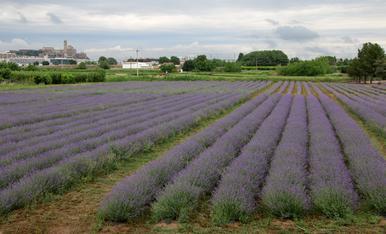 Aixi de bonic té el color ara , dia 4 juny , la plantació de lavanda al Sot de Fontanet.  La floració dura cap a uns 15 dies, ara es el moment de ferli fotos i gaudir tot l'any amb  aquest record amb paper......