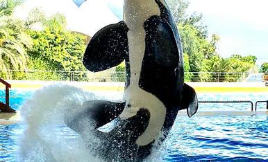 El majestuos salt de la orca