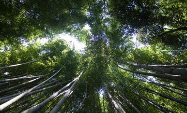 6.KYOTO   impresionante bosque de Bambú de Arashiyana
