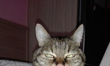 El tigret, un gat sénior amb molt coneixement