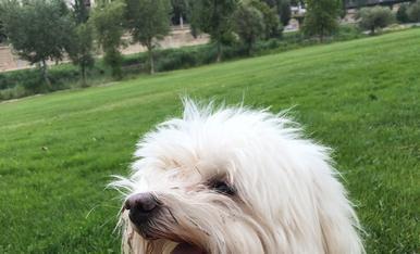 Sóc el Max, un bichón maltés molt dolç i a qui li encanta sortir d'excurció pel riu!