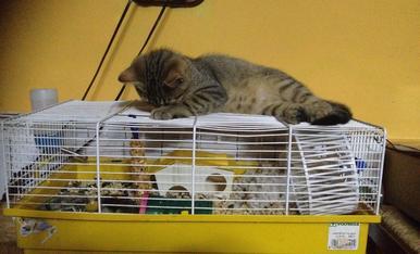 La petita gateta que vigila al seu amic hàmster