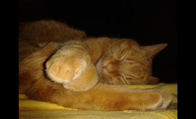 Ronny es la meva mascota, un preciós gatet, quan dorm... que sembla un peluix i tot...